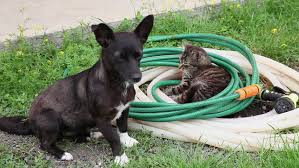 Good Backyard Pets Bad Cat Scratching Dog In The Backyard Domestic Animals Funny