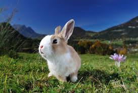 where does the easter bunny come from and why do we eat chocolate
