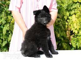 belgian sheepdog puppy batman belgian sheepdog puppy for sale euro puppy