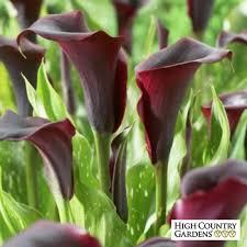 calla lily black forest zantedeschia calla lily low water