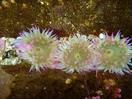 aggregate green anemone u2022 anthopleura elegantissima biodiversity