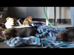 jack russell american pitbull terrier mix yorkie jack russell mix puppies for sale youtube
