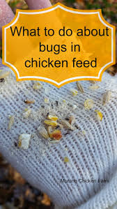 bugs in the chicken feed chicken feed backyard chickens and