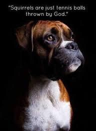 boxer dog sayings boxer energetic and funny dog animal and doggies