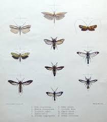 moth u0026 butterfly prints mintern adela optima etc hand col antique