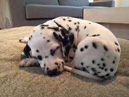 712 dalmatian puppies images dalmatian puppies