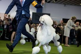 bichon frise golf head cover dogs ranked
