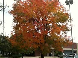 do trees change color in houston liberal