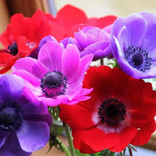 anemones flowers anemone bulbs for sale tagged other options floral arranging