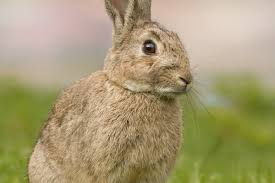 rabbits neanderthal extinction