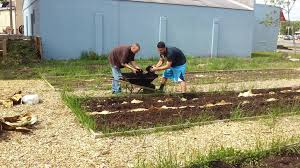 planting sweet corn the miracle garden