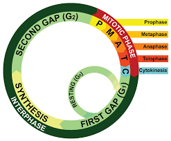 the cell cycle mitosis and meiosis worksheets ck 12 foundation