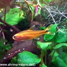 Buy Ornamental Fish 10 Pc Kupfersalmler Hasemania Nana Buy Ornamental Fish