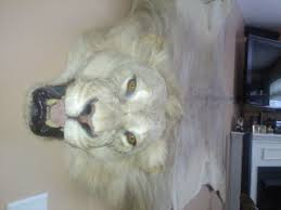 african male lion rug