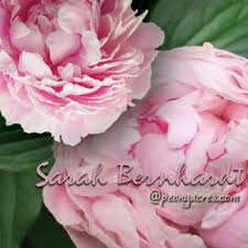 Wholesale Peonies Light Pink Wholesale Peonies May June American Peony Flower Farm