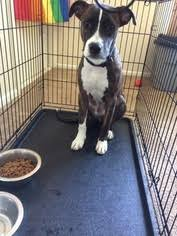 jack russell american pitbull terrier mix view ad american pit bull terrier jack russell terrier mix puppy