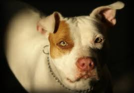 the best high quality dog food options for pitbulls