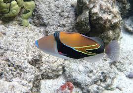 rambling jill reef triggerfish