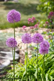 Image Of Spring Flowers by The 25 Best Allium Flowers Ideas On Pinterest Purple Garden