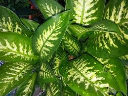 biggest house plants collection of biggest house plants pictures of large leaf house