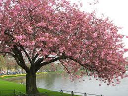 100 japanese cherry tree fruit cherry cultivars vancouver
