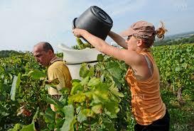chambre d agriculture jura région franche comté jura 200 postes de vendangeurs à pourvoir