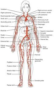 What Is Human Anatomy And Physiology 59 Best Anatomy Images On Pinterest Anatomy Physiology And