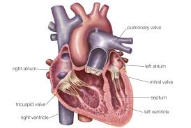 Heart Anatomy And Function Atria Of The Heart Function