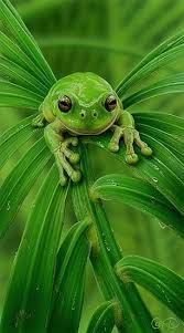 best 25 green frog ideas on frogs tree frogs and