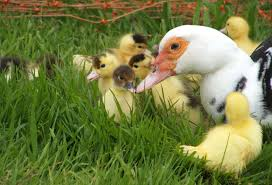 warning stupidly cute photos of muscovy ducklings the hedgecombers