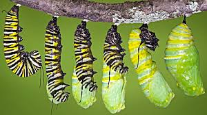 how exactly does a caterpillar morph into a butterfly
