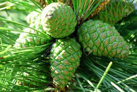 pine cones in tree stock photo picture and royalty free image