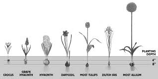 Ideas For Daffodil Varieties Design How To Plant Fall Flower Bulbs