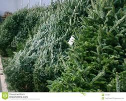 100 christmas tree saplings for sale florida sand pine the
