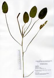 connecticut native plants caes quonnipaug 2015