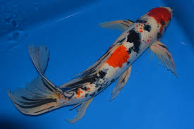 japanese koi pond cleaning water feature fish pond national