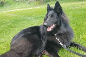 what is a belgian sheepdog choosing the right collar or harness for your dog american