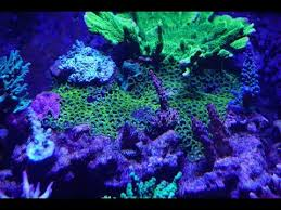 thanksgiving reefs 100 gallon coral reef tank thanksgiving 2017 update