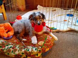 australian shepherd puppy training raising a mini aussie how to train the