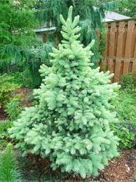 shop 50pcs blue spruce tree seeds evergreen picea
