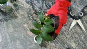 Long Stem Roses Long Stem Roses How To Plant Flowers How To Plant Long Stem