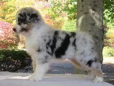 australian shepherd ivermectin ivermectin for dogs trifexis and mdr1 gene mutation canine