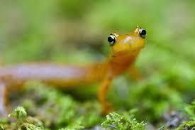 native amphibians of indiana indiana wildlife federation