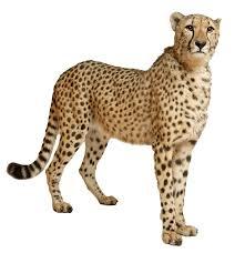 jaguar clipart cheetah clipart jaguar pencil and inlor cheetah cliparting com