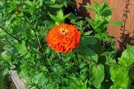 Zinnia Flower Zinnia Flower Pictures Images Of Zinnias By The Gardener U0027s Network