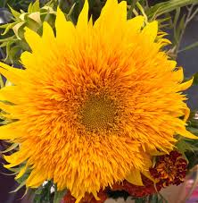 teddy sunflowers 426 best sunflowers images on sunflowers flowers and