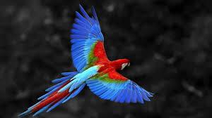 bird wallpaper colorful parrot flying bird wallpaper