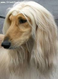 afghan hound breeders victoria a photo of a 1 year old cream afghan hound perfect part