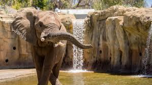 fitness trackers boost zoo elephant health shots health news npr