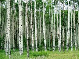 14 best tree references images on aspen trees aspen